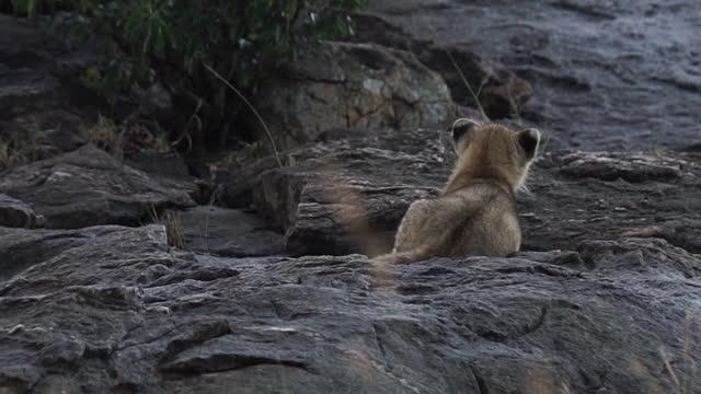 africa - mother lion and lion cubs on rock - tier rücken stock-videos und b-roll-filmmaterial