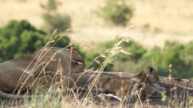 vídeos de stock, filmes e b-roll de africa - mother lion and lion cubs resting - grupo pequeno de animais