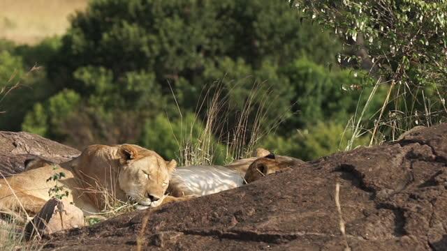 vídeos y material grabado en eventos de stock de africa - mother lion and lion cubs resting - grupo pequeño de animales