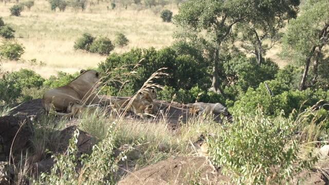 vídeos y material grabado en eventos de stock de africa - mother lion and lion cubs - grupo pequeño de animales