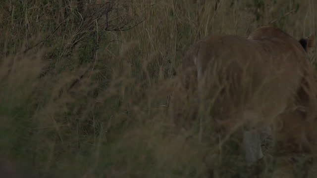 africa - rear view of lion and lion cubs - tier rücken stock-videos und b-roll-filmmaterial
