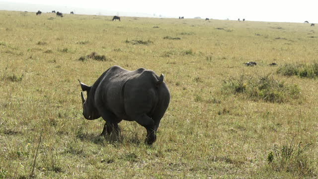 africa - rhinoceros moving after urinating - reed grass family stock videos & royalty-free footage