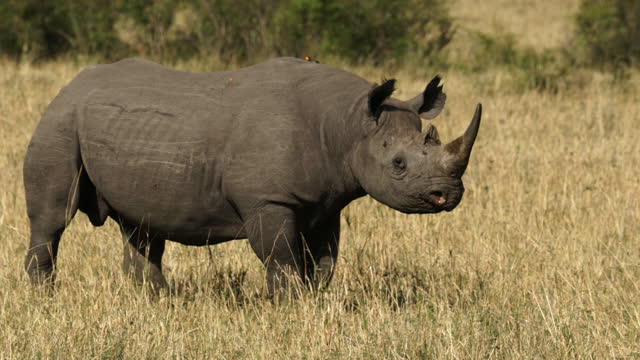africa - rhinoceros moving - reed grass family stock videos & royalty-free footage