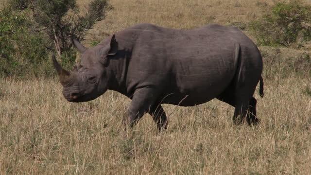 africa - rhinoceros moving - one animal stock videos & royalty-free footage