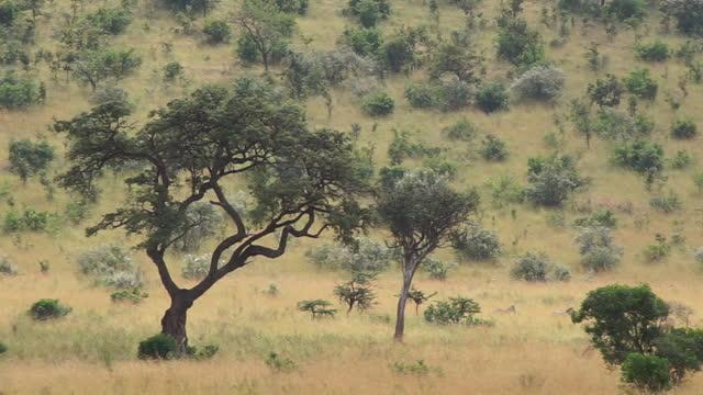 africa - tree in grassland - zebramuster stock-videos und b-roll-filmmaterial