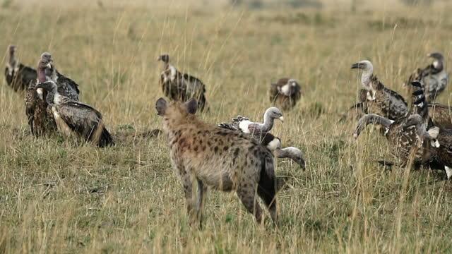 vídeos de stock e filmes b-roll de africa - vulture and hyena - planície