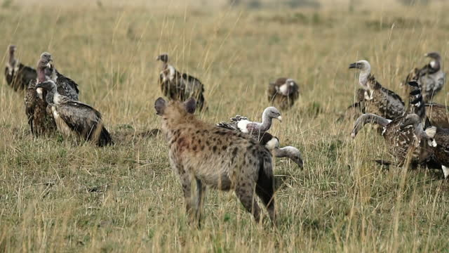 vídeos de stock e filmes b-roll de africa - vulture and hyena - savana