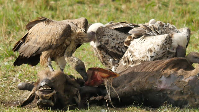 africa - vulture eating prey - 鳥の鉤爪点の映像素材/bロール