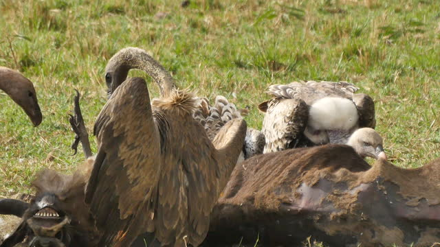 africa - vulture eating prey - aggression stock videos & royalty-free footage