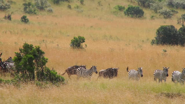 africa - wildebeest and zebra moving - zebramuster stock-videos und b-roll-filmmaterial