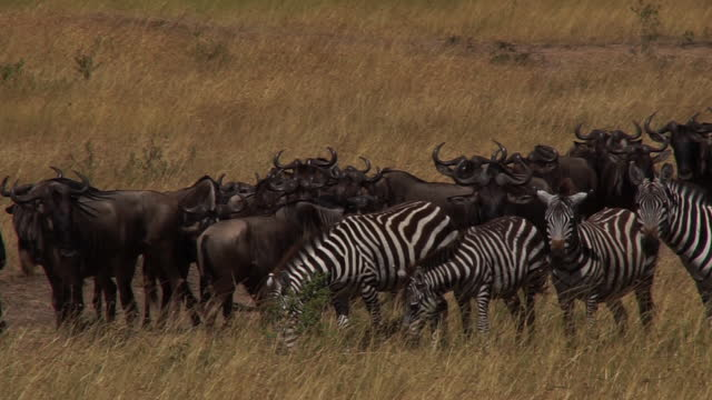 africa - wildebeest and zebra - zebramuster stock-videos und b-roll-filmmaterial