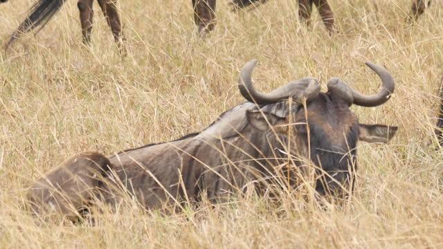 africa - wildebeest resting - tier rücken stock-videos und b-roll-filmmaterial