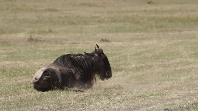 africa - wildebeest with injured leg - animal behaviour stock videos & royalty-free footage
