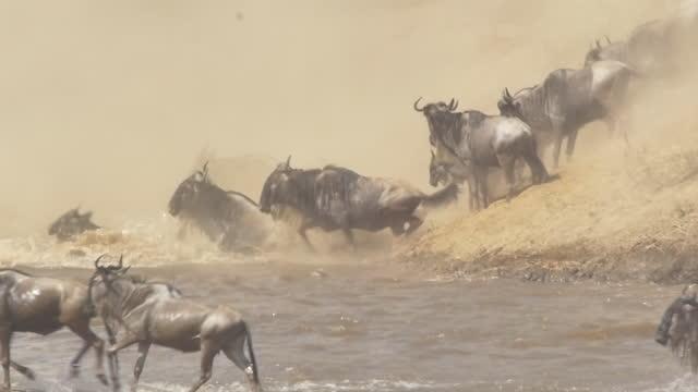 africa - wildebeests crossing river - herbivorous stock videos & royalty-free footage