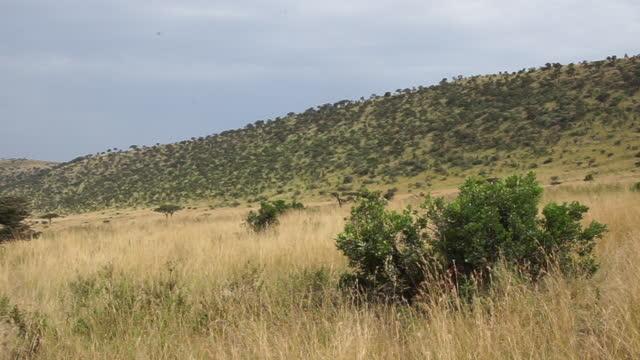 africa - windy grassland - zweig stock-videos und b-roll-filmmaterial