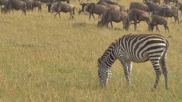 vídeos de stock e filmes b-roll de africa - zebra eating grass - savana