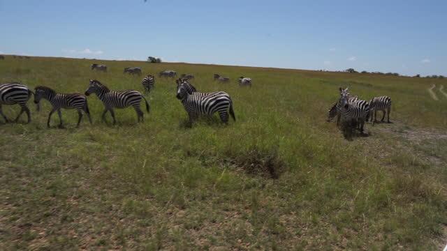 africa - zebra in grassland - zebramuster stock-videos und b-roll-filmmaterial
