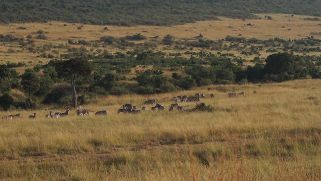 africa - zebra in grassland - zebra print stock videos & royalty-free footage