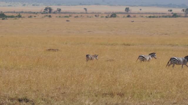africa - zebra moving - zebramuster stock-videos und b-roll-filmmaterial