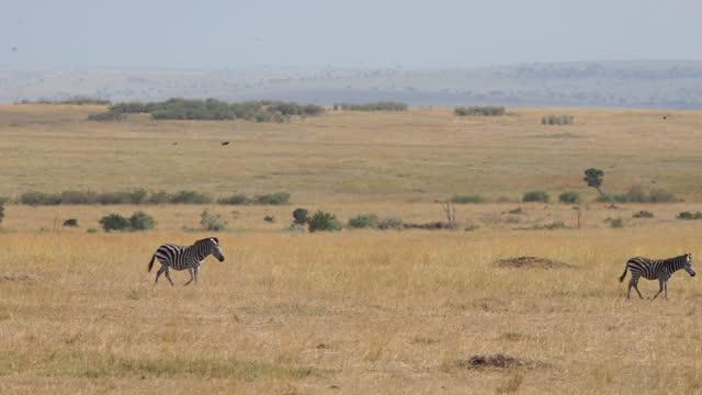 vídeos y material grabado en eventos de stock de africa - zebra moving - grupo pequeño de animales