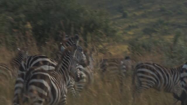 africa - zebra running - zebramuster stock-videos und b-roll-filmmaterial