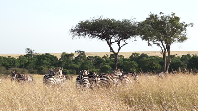africa - zebra - reed grass family stock videos & royalty-free footage