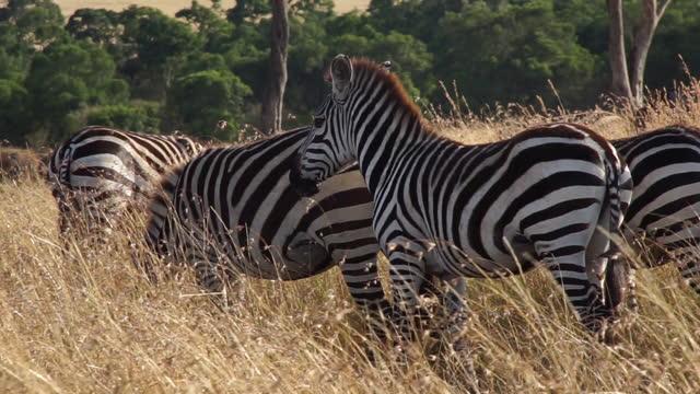 africa - zebra - zebra print stock videos & royalty-free footage