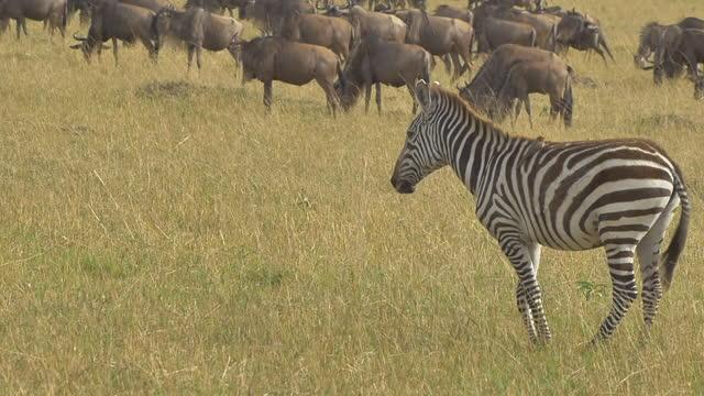 vídeos de stock e filmes b-roll de africa - zebra - savana