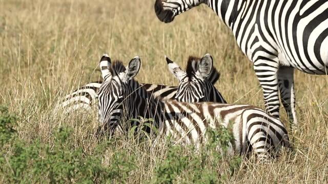 africa - zebra - zebramuster stock-videos und b-roll-filmmaterial
