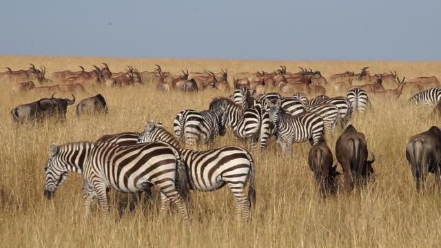 africa - zebra, wildebeest and impala - zebra print stock videos & royalty-free footage