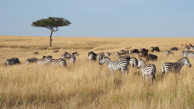 africa - zebra, wildebeest and impala - large group of animals stock videos & royalty-free footage