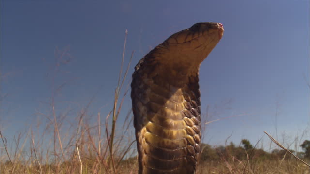 cu african african african cobra with hood out in profile td to ms  - alertness stock videos & royalty-free footage