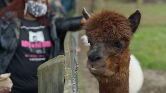 african american family feeding a brown alpaca at farm on halloween - tier familie stock-videos und b-roll-filmmaterial