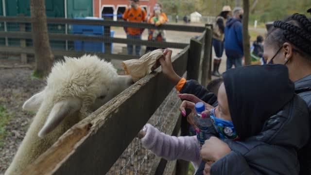 african american family feeding an alpaca at farm on halloween - tier familie stock-videos und b-roll-filmmaterial