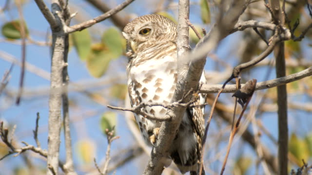 vídeos de stock, filmes e b-roll de african barred owlet on a tree, looking at camera and blinking - ave de rapina