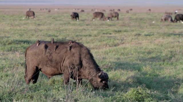 vídeos de stock, filmes e b-roll de búfalo africano com pássaros de costas - búfalo africano