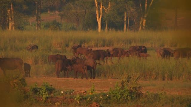 vídeos y material grabado en eventos de stock de african buffaloes graze in a meadow near a forest. available in hd. - zoología