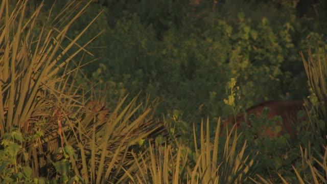 vídeos y material grabado en eventos de stock de african buffaloes stride in tandem through a forest. available in hd. - zoología