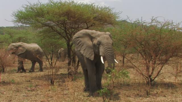 African Bush Elephant (Loxodonta africana) eating bush and walking, Serengeti, Tanzania