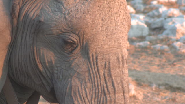 vídeos de stock, filmes e b-roll de african bush elephant (loxodonta africana) face, etosha national park, namibia - áfrica meridional