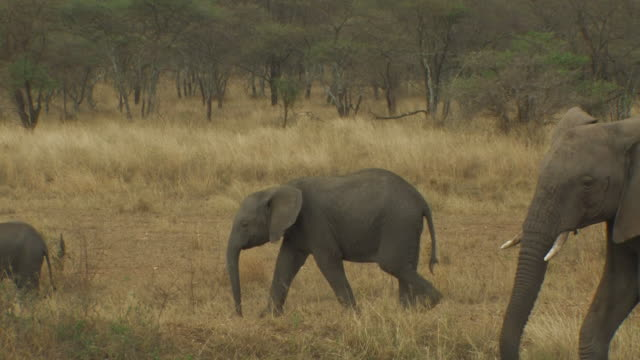 african bush elephant (loxodonta africana) family walking, one stops, digs earth with trunk, serengeti, tanzania - elephant stock videos & royalty-free footage