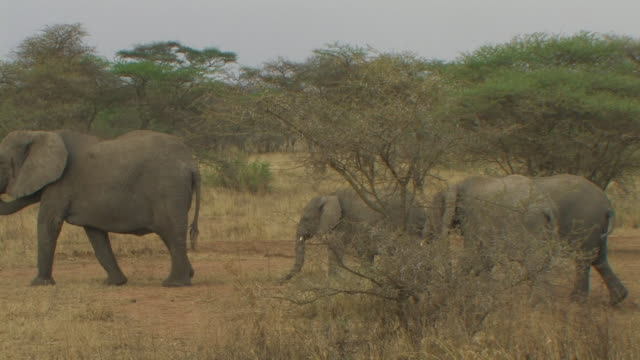 african bush elephant (loxodonta africana) female and older calfs walking, serengeti, tanzania - group of objects stock videos & royalty-free footage