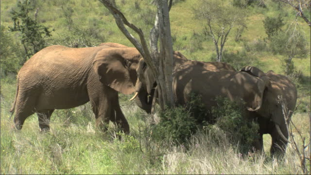 African Bush Elephant (Loxodonta africana) greets group sheltering under tree, Kenya, Africa