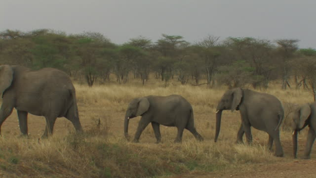 African Bush Elephant (Loxodonta africana), herd walking in line, Serengeti, Tanzania