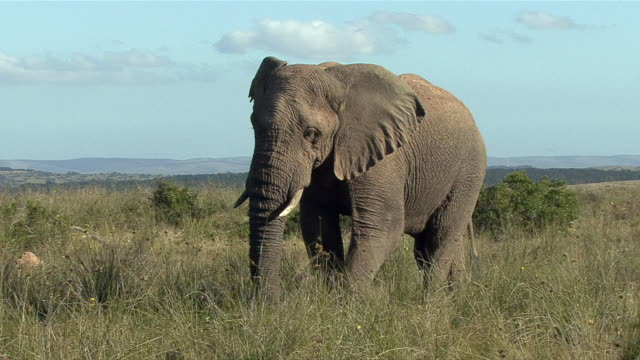 ws african bush elephant (loxodonta africana) walking through grass / eastern cape, south africa - male animal stock videos & royalty-free footage