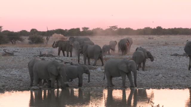 african bush elephants (loxodonta africana) drinking at waterhole, evening light, etosha national park, namibia - 厚皮動物点の映像素材/bロール
