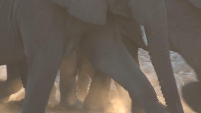 african bush elephants (loxodonta africana), etosha national park, namibia - wildtier stock-videos und b-roll-filmmaterial