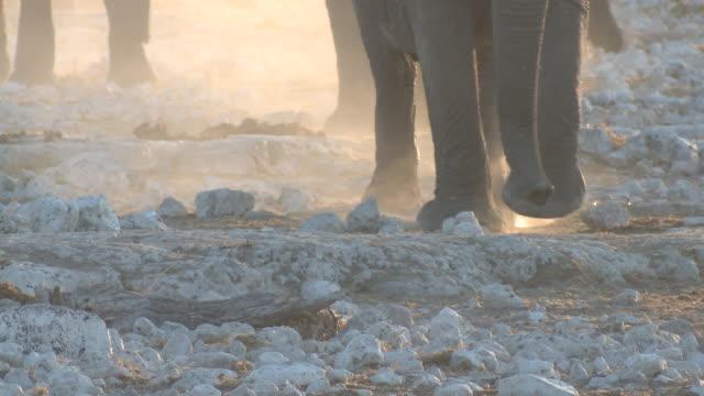 african bush elephants' (loxodonta africana) feet walking, etosha national park, namibia - wilde tiere stock-videos und b-roll-filmmaterial