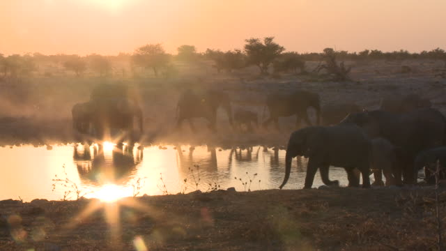 african bush elephants (loxodonta africana) visiting glistening waterhole at sunset, etosha national park, namibia - namibia stock videos & royalty-free footage