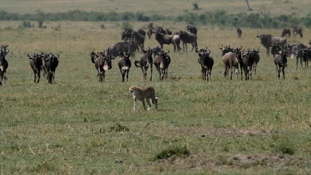 african cheetah chasing wildebeest, masai mara, kenya - hunting sport stock videos and b-roll footage
